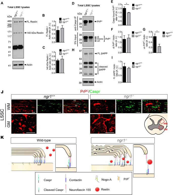Nogo receptor 1 regulates Caspr distribution at axo-glial units in