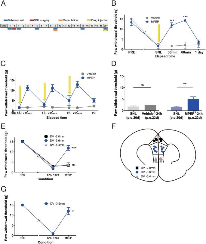 Upregulation of prefrontal metabotropic glutamate receptor 5