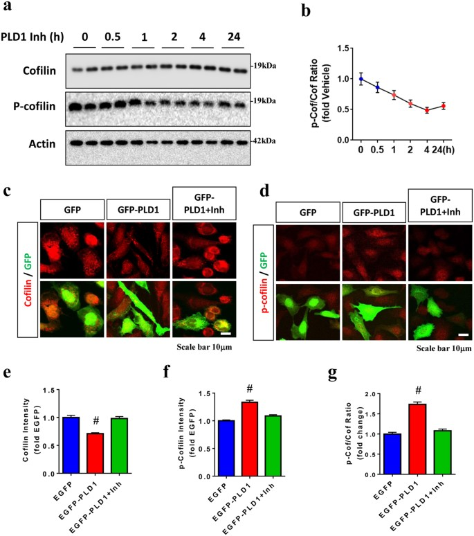 Cofilin-mediated Neuronal Apoptosis via p53 Translocation