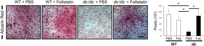 Inhibition of GDF8 (Myostatin) accelerates bone regeneration