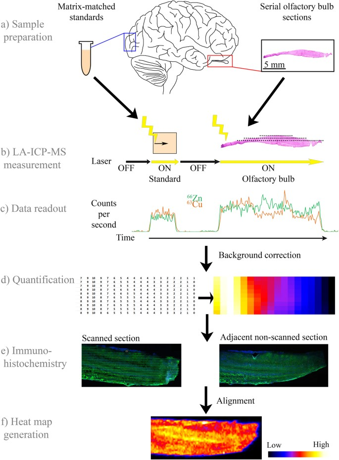 (a) matrix-matched, metal-spiked standards and serial sagittal sections of  olfactory bulb are cut on a cryostat and mounted