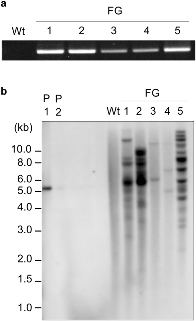 An in planta biolistic method for stable wheat transformation