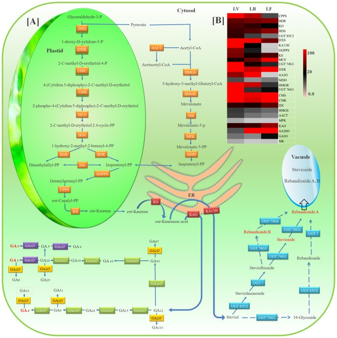 Molecular dissection of transcriptional reprogramming of steviol