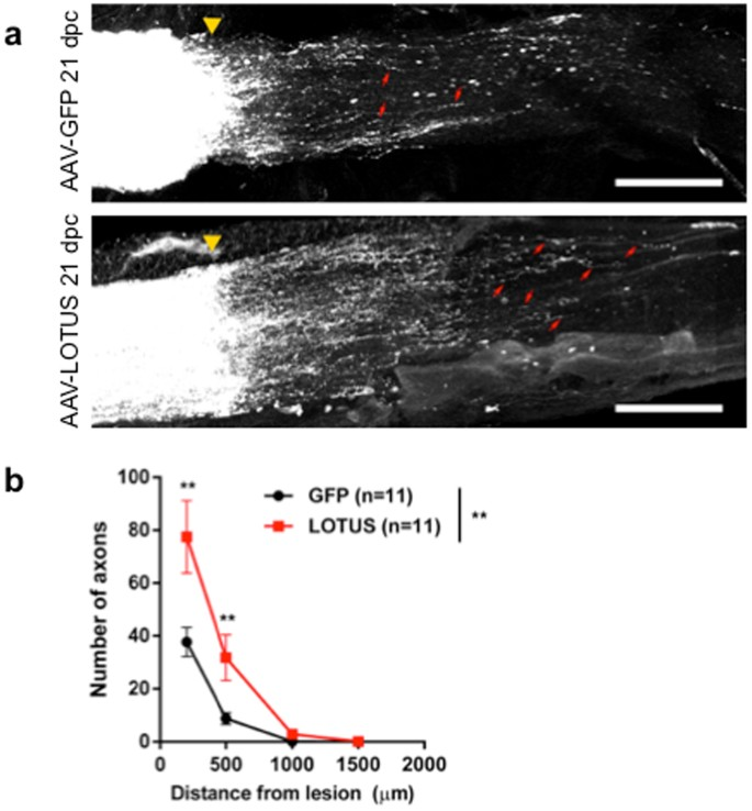 Regulation of axonal regeneration by the level of function
