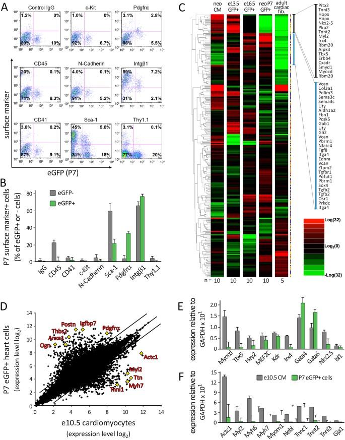 Nkx2 5+ Cardiomyoblasts Contribute to Cardiomyogenesis in