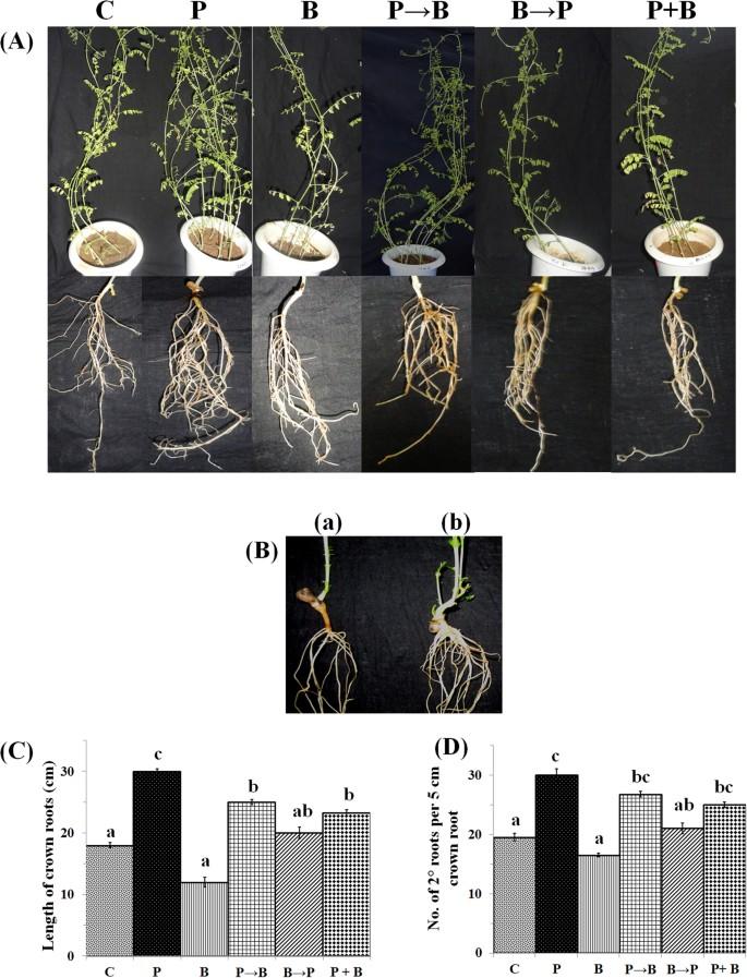 Antioxidant enzymes in chickpea colonized by Piriformospora