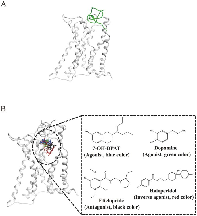Activation-Induced Conformational Changes of Dopamine D3