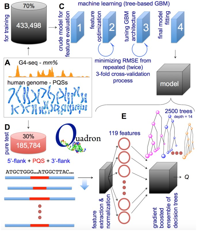 Machine learning model for sequence-driven DNA G-quadruplex