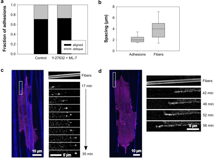 Contact guidance persists under myosin inhibition due to the local
