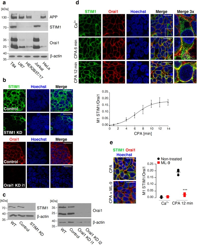 Knockdown of amyloid precursor protein increases calcium levels in