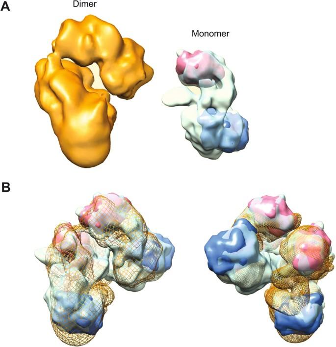 Molecular architecture of potassium chloride co-transporter
