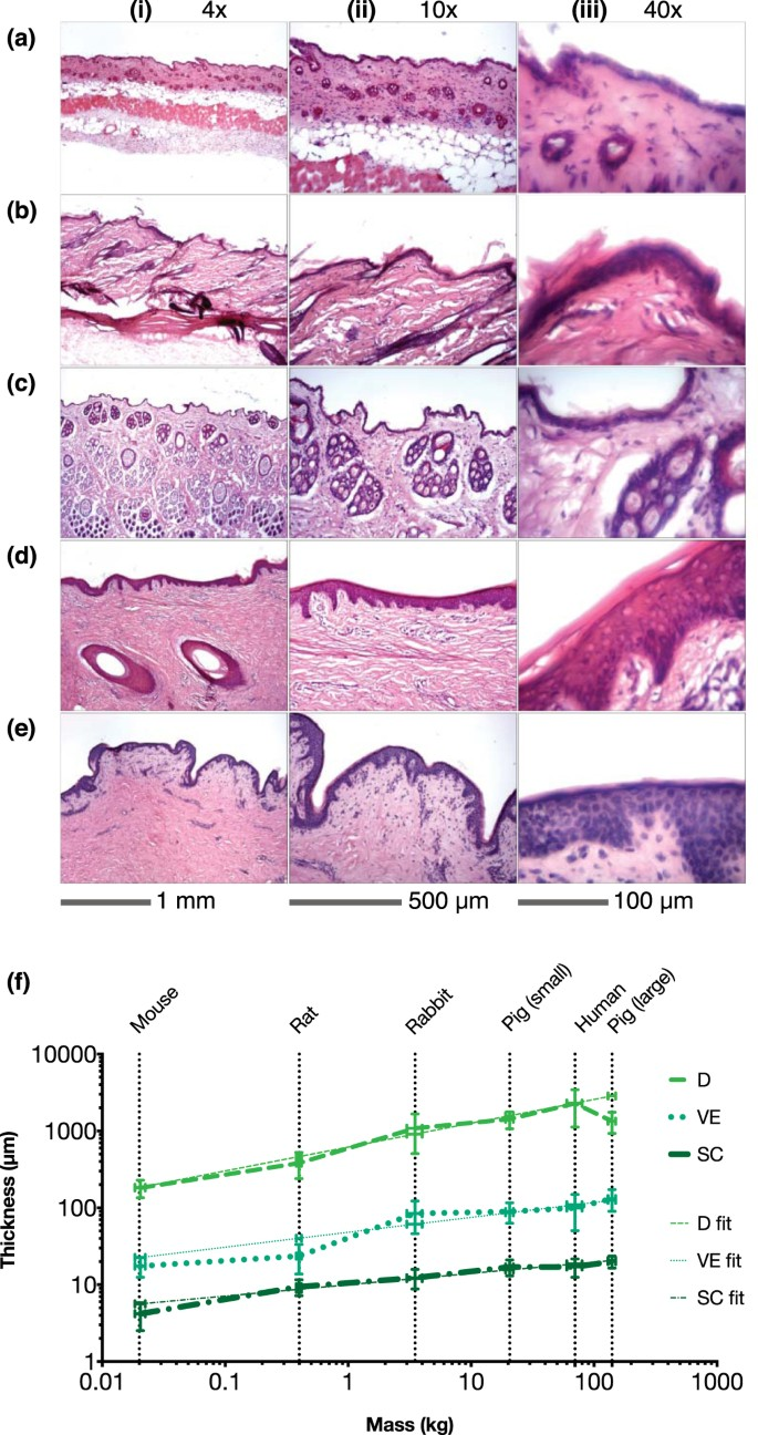 representative cryo histological cross sections of upper skin specimens:  (a) mouse – flank, (b) rat – flank, (c) rabbit – flank, (d) large pig – ear  (e)