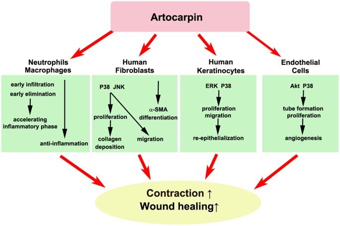 graphical schematic of the regulatory mechanism of arto in enhancing skin  wound healing