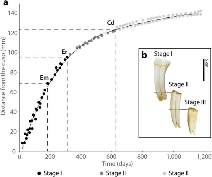 Reconstructing molar growth from enamel histology in extant