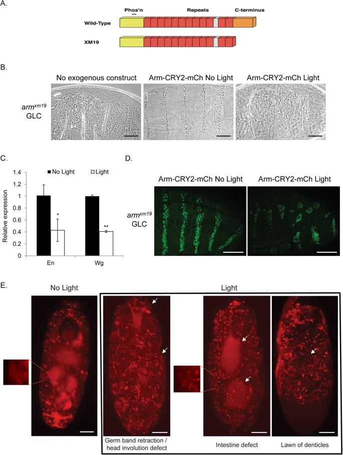 Coupling optogenetics and light-sheet microscopy, a method