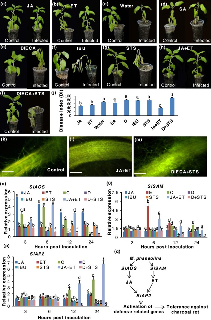 Biotrophy-necrotrophy switch in pathogen evoke differential response