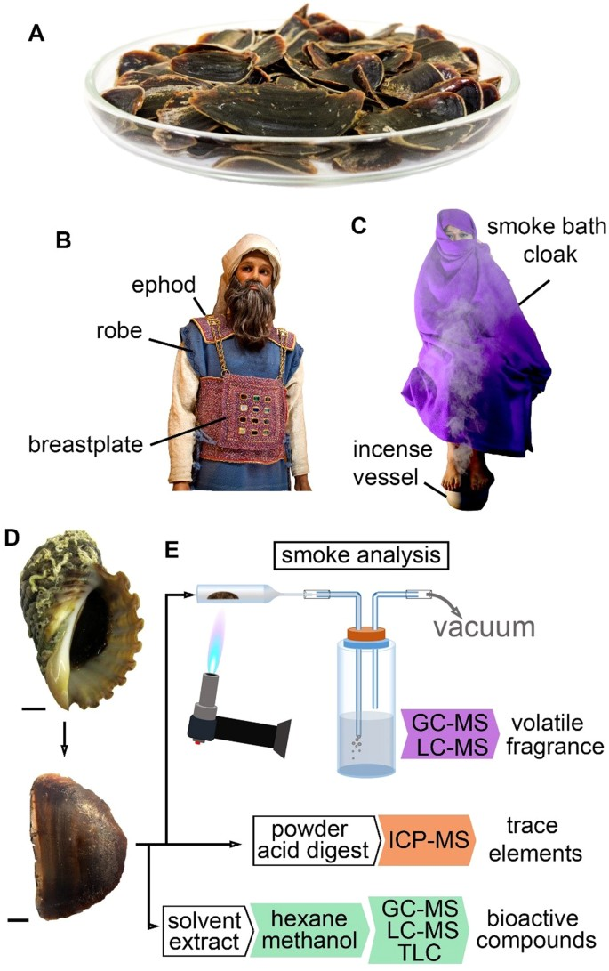 Volatile and bioactive compounds in opercula from Muricidae
