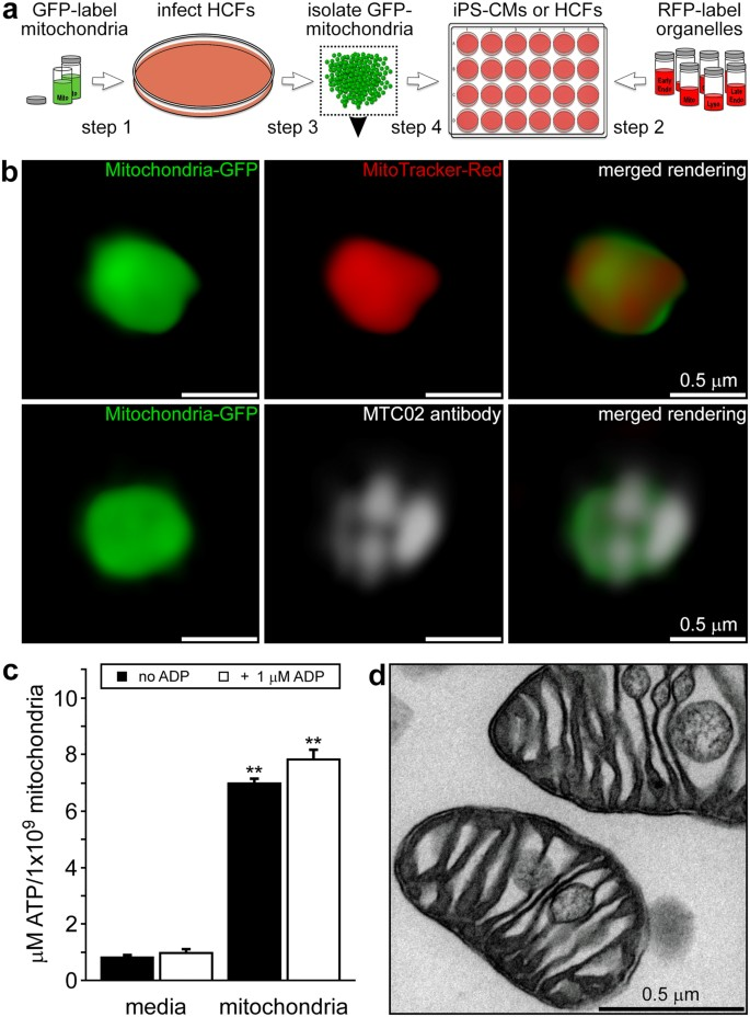 Transit and integration of extracellular mitochondria in