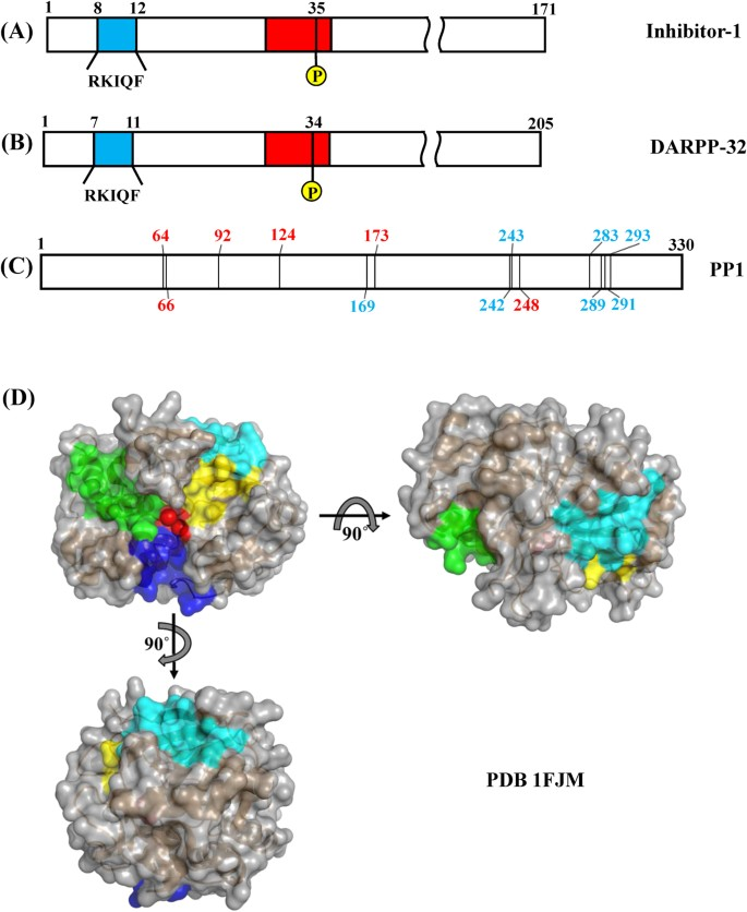Characterization of the interactions between inhibitor-1 and