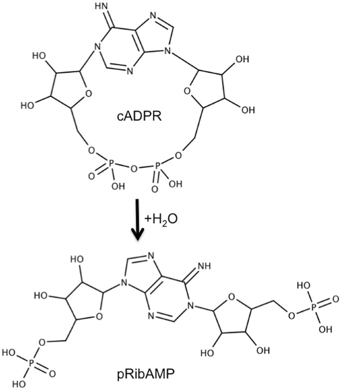 Specific cyclic ADP-ribose phosphohydrolase obtained by