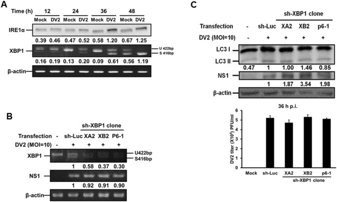 Dengue virus-induced ER stress is required for autophagy activation