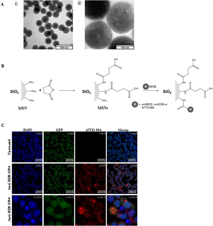 Targeting murine leukemic stem cells by antibody functionalized