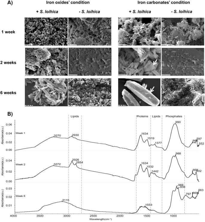 Bacterial iron reduction and biogenic mineral formation for the