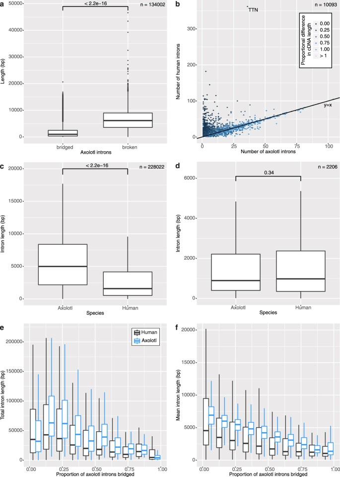Virtual Genome Walking across the 32 Gb Ambystoma mexicanum