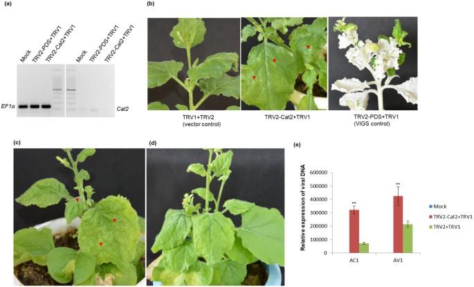 AV2 protein of tomato leaf curl Palampur virus promotes