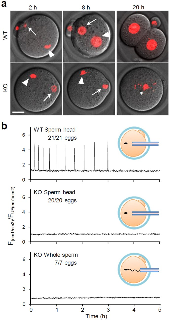 Sperm-borne phospholipase C zeta-1 ensures monospermic