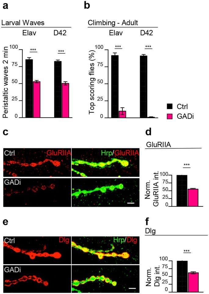 Downregulation of glutamic acid decarboxylase in Drosophila