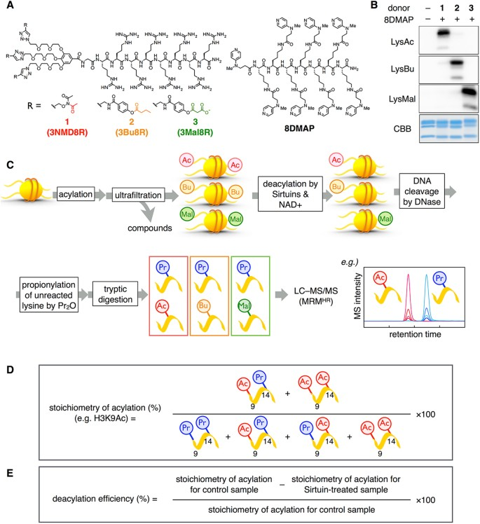 LC–MS/MS-based quantitative study of the acyl group- and site