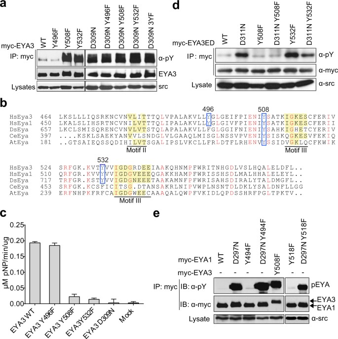 WDR1 is a novel EYA3 substrate and its dephosphorylation