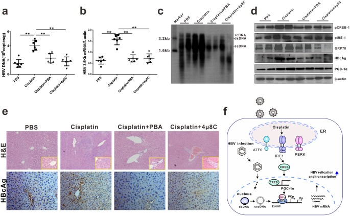 Cisplatin Enhances Hepatitis B Virus Replication and PGC-1α