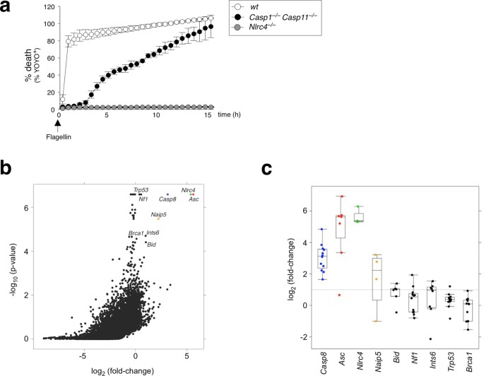 ASC- and caspase-8-dependent apoptotic pathway diverges from