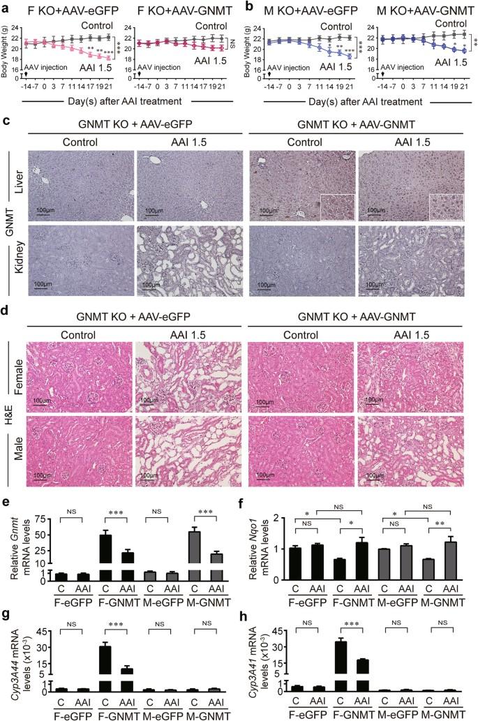 Glycine N-methyltransferase inhibits aristolochic acid nephropathy