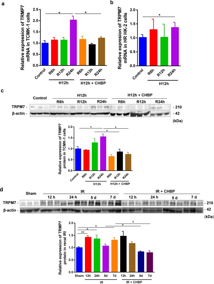 TRPM7 in CHBP-induced renoprotection upon ischemia