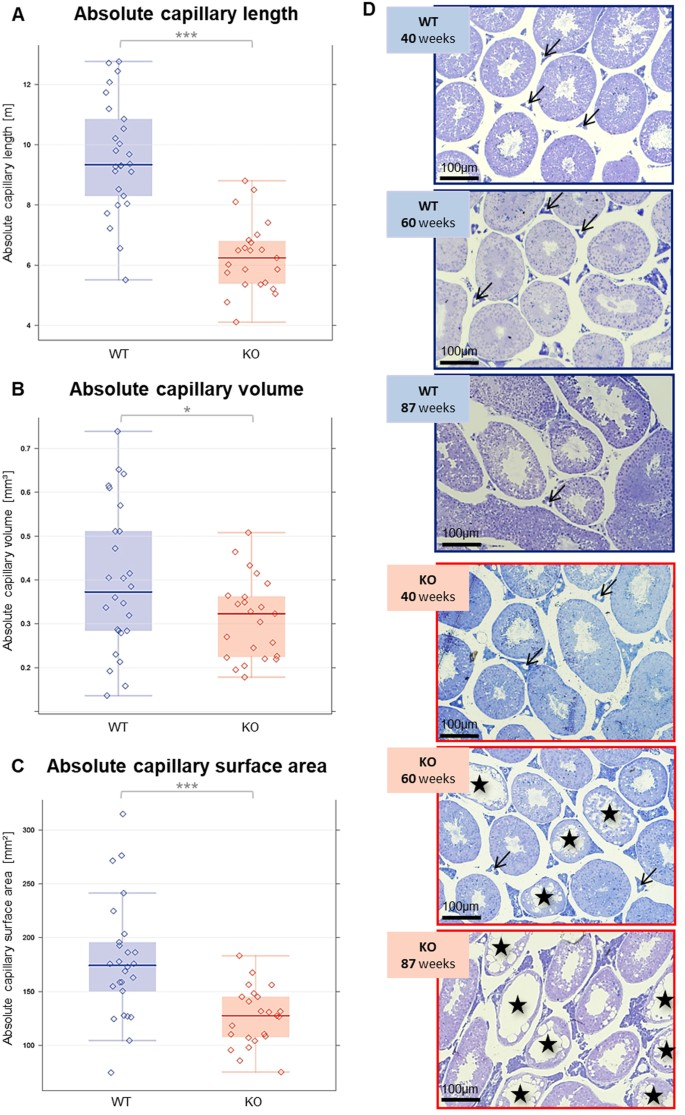 Low testosterone in ApoE/LDL receptor double-knockout mice is