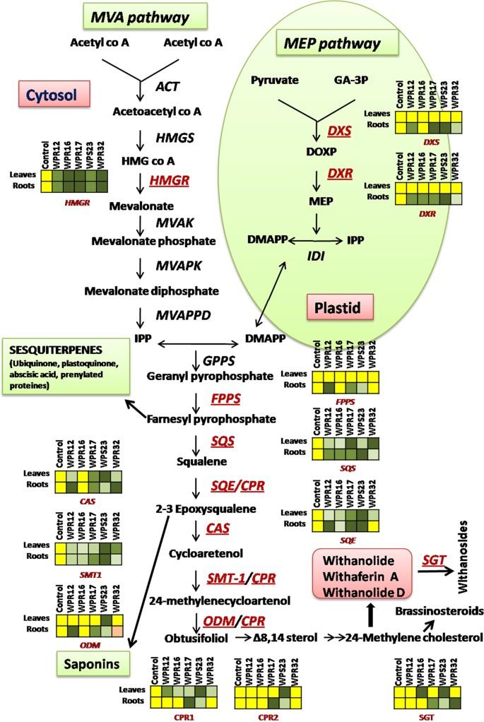 Endophytes of Withania somnifera modulate in planta content