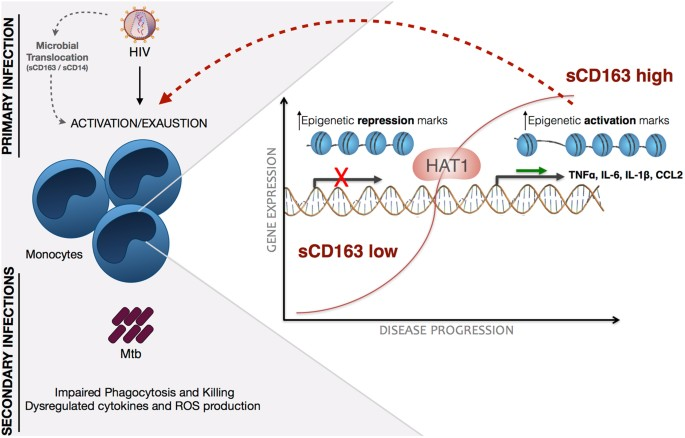schematic representation of the events of primary hiv infection and monocyte  response in scd163-low or -high hiv + patients, as an indicator of  progression