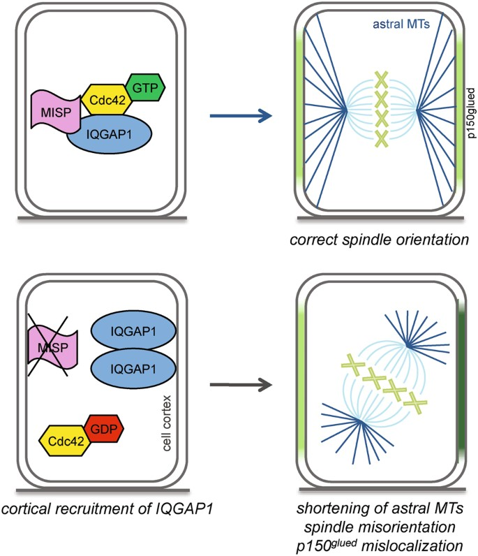 MISP regulates the IQGAP1/Cdc42 complex to collectively orchestrate