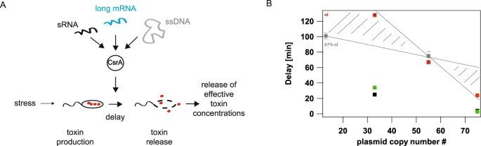 CsrA and its regulators control the time-point of ColicinE2 release