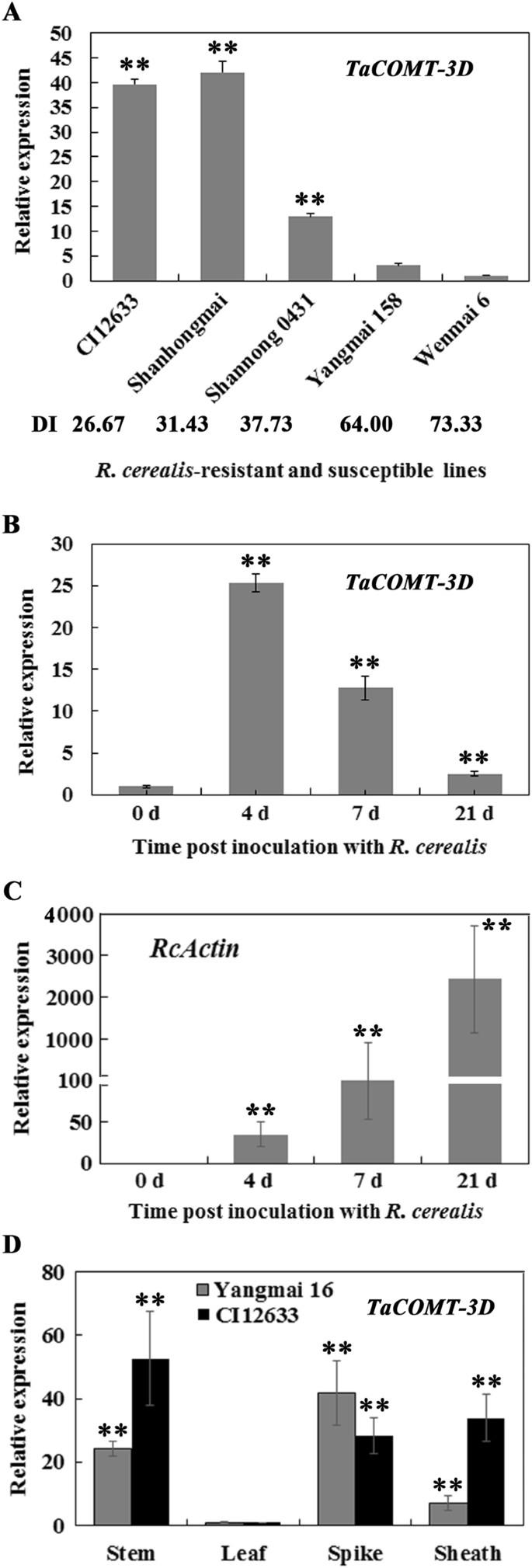A wheat caffeic acid 3-O-methyltransferase TaCOMT-3D