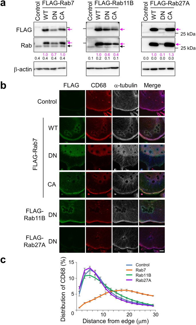 Essential Role of the a 3 Isoform of V-ATPase in Secretory