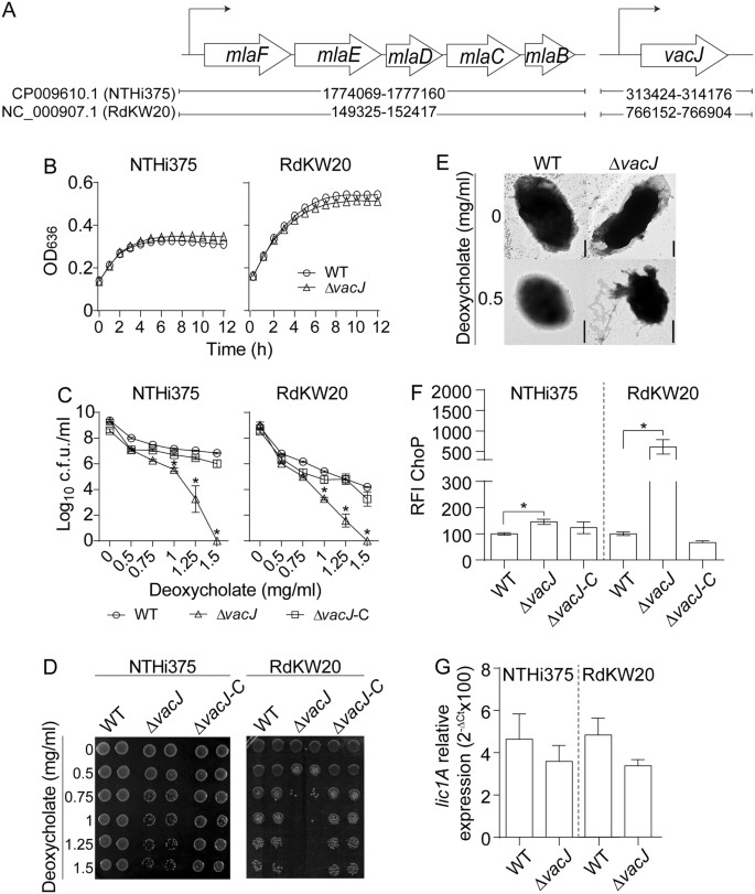 Modulation of Haemophilus influenzae interaction with