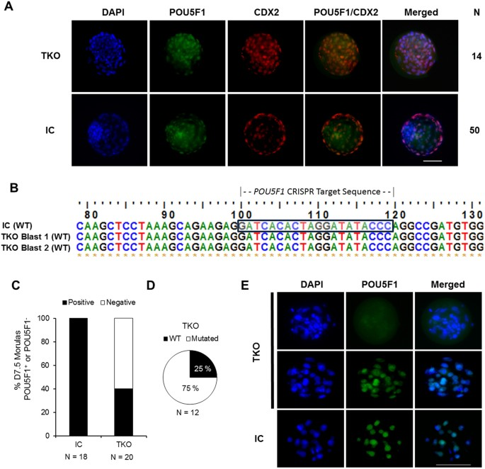 Embryonic POU5F1 is Required for Expanded Bovine Blastocyst