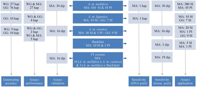 High sample throughput genotyping for estimating C-lineage
