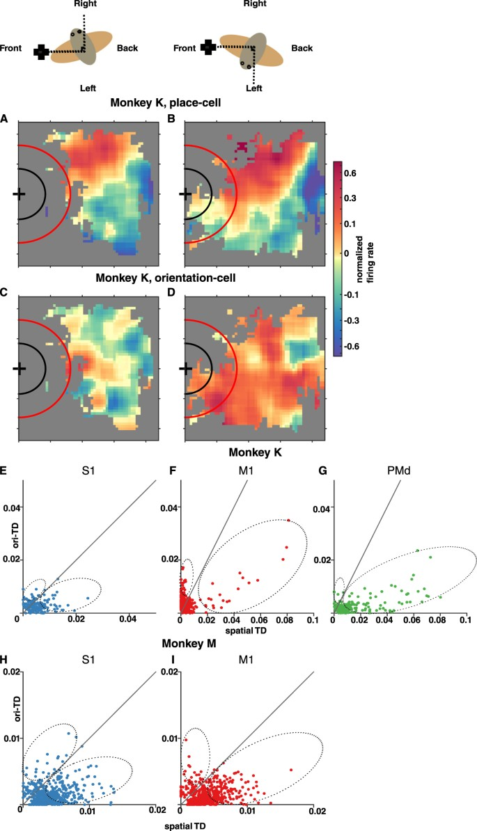 Place Cell-Like Activity in the Primary Sensorimotor and Premotor