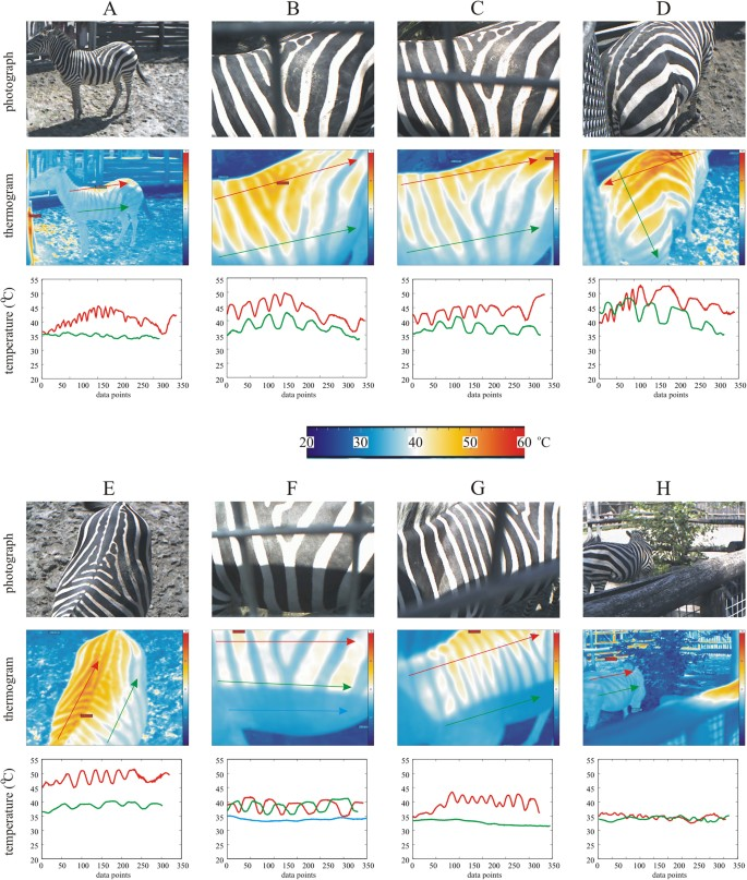 Experimental evidence that stripes do not cool zebras | Scientific