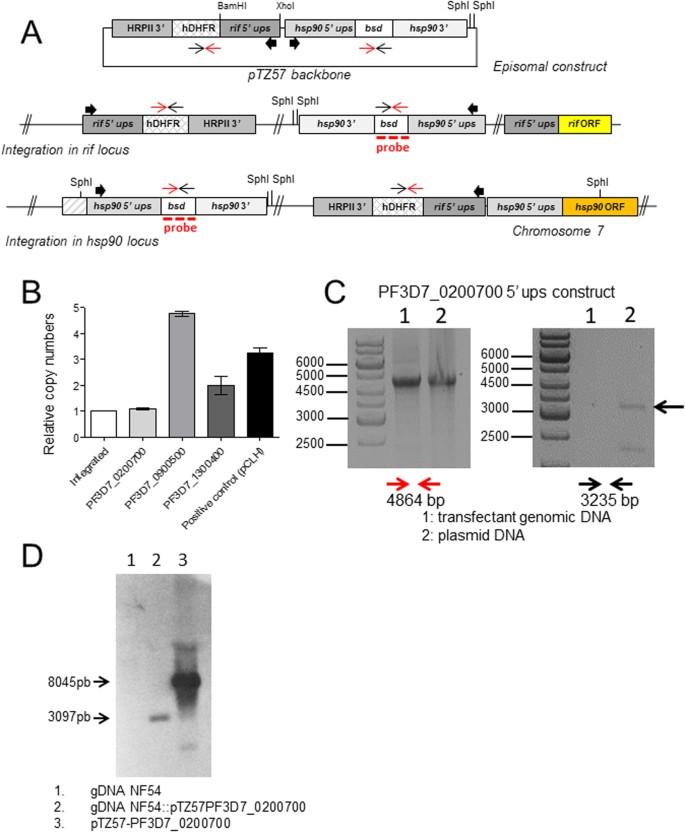Independent regulation of Plasmodium falciparum rif gene promoters